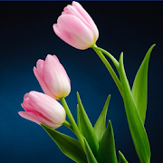 Colorful Tulip Wallpapers 2.0.7