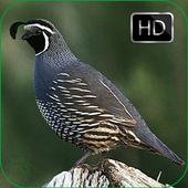 Quail Bird Sounds + Ringtones 1.0