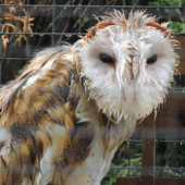 Big Wet Owl at rain HD LWP 2.0