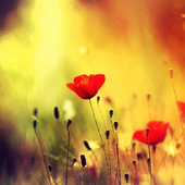 Flower Pictures Wallpapers 1.0