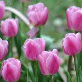 Tulip Puzzle 1.23