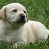 Labrador Retriever Puzzle 1.23
