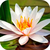 Water Lily Live Wallpaper 1.1.1