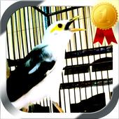 Masteran Burung Jalak Putih 1.0