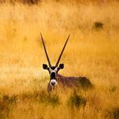 Gazelle Wallpapers 2.0