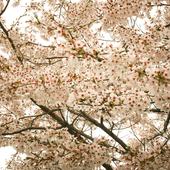 Sakura Wallpapers 1.55.0
