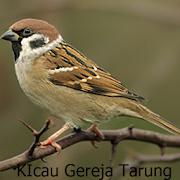 Kicau-Kicau Burung Gereja Tarung 1.1