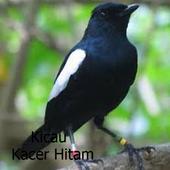 Kicau Kacer Hitam 1.1