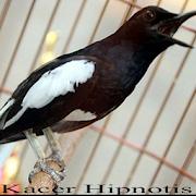 Suara Kacer Hipnotis Juara 1.1