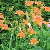 Lily blossom 1.3