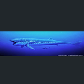 Indian Blue Whale  hunting 0.6