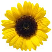 Sunflower Shower 0.1