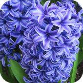 Hyacinths Wallpapers 1.3