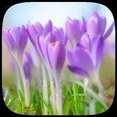 HD Wallpaper - Crocus Flower 1.0