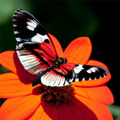 Butterfly Puzzles (Jigsaws) 1.1.0