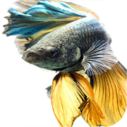 Betta Fish Wallpapers 1.5