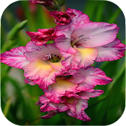 Gladiolus Flower Wallpapers 1.0