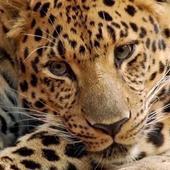 Amur Leopards Wallpapers