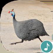 Appp.io - Guinea Fowl Sounds & Calls 1.0.3