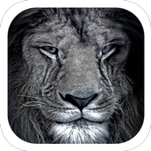 Lion black mane roaring theme 1.1.2