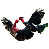chicken fighting, ga choi 1.0