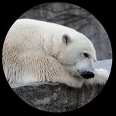 Polar Bear Wallpapers 1.1