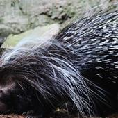 Cute Porcupines Wallpapers 1.0
