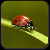 Ladybug  Wallpaper 1.0
