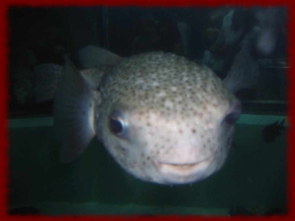 Puffer Fish Wallpapers