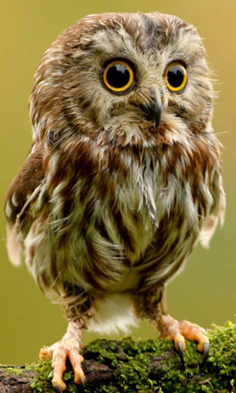 Cute Owl Live Wallpaper 1002 Apk Download Android