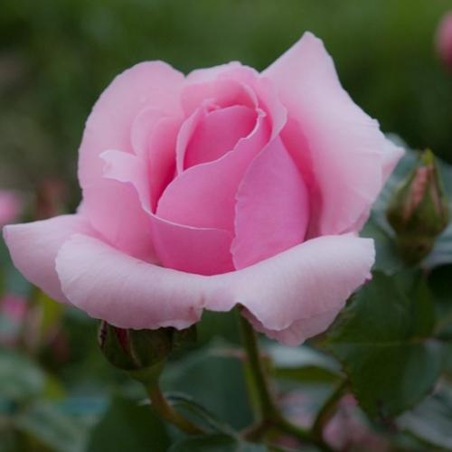 Im genes de rosas preciosas 1 0 apk download android - Fotos flores preciosas ...