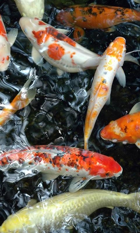 Unduh 55 Gambar Ikan Koi Wallpaper Terpopuler