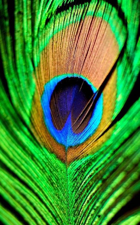HD Peacock Feather Wallpaper 11 Screenshot 14