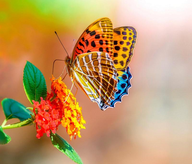 Butterfly Wallpapers For Chat 1.0 APK Download