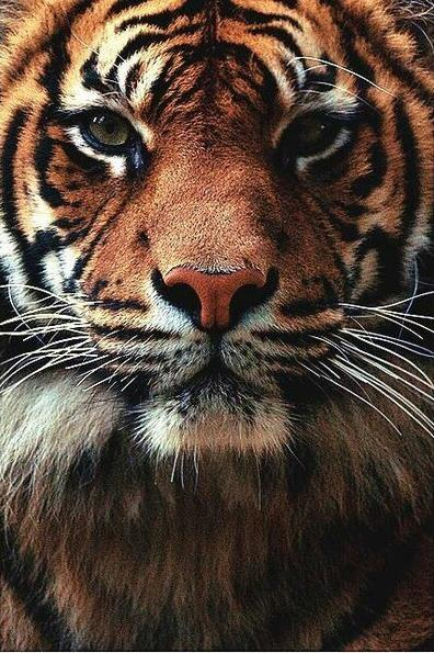 Tiger Wallpapers Hd 1 2 Apk Download Android Personalization Apps