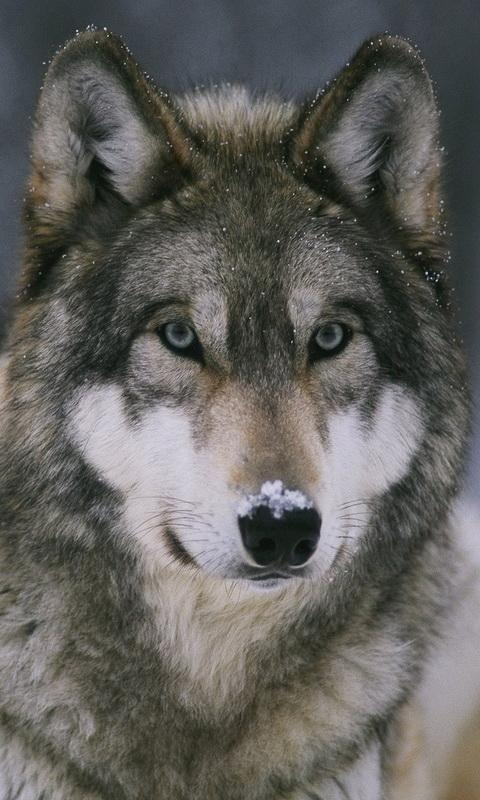 Wolf Wallpaper 1 1 Apk Download Android Personalization Apps