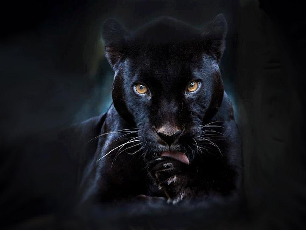 Black panther live wallpaper 2 5 apk download android - Jaguar animal hd wallpapers ...