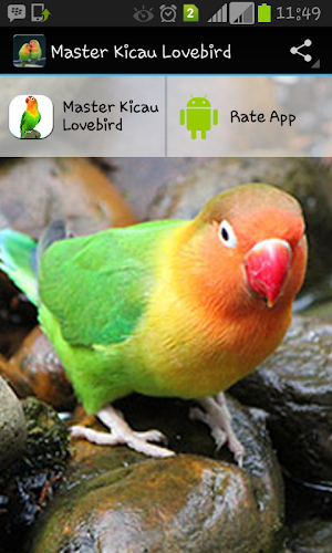 burung lovebird terbagus burung labet