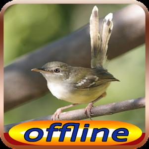 Kicau Burung Ciblek Gunung Isian 1.0 screenshot 1