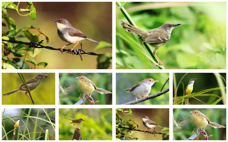 Prinia Familiaris Bird S Chirp 1 2 APK Download Android