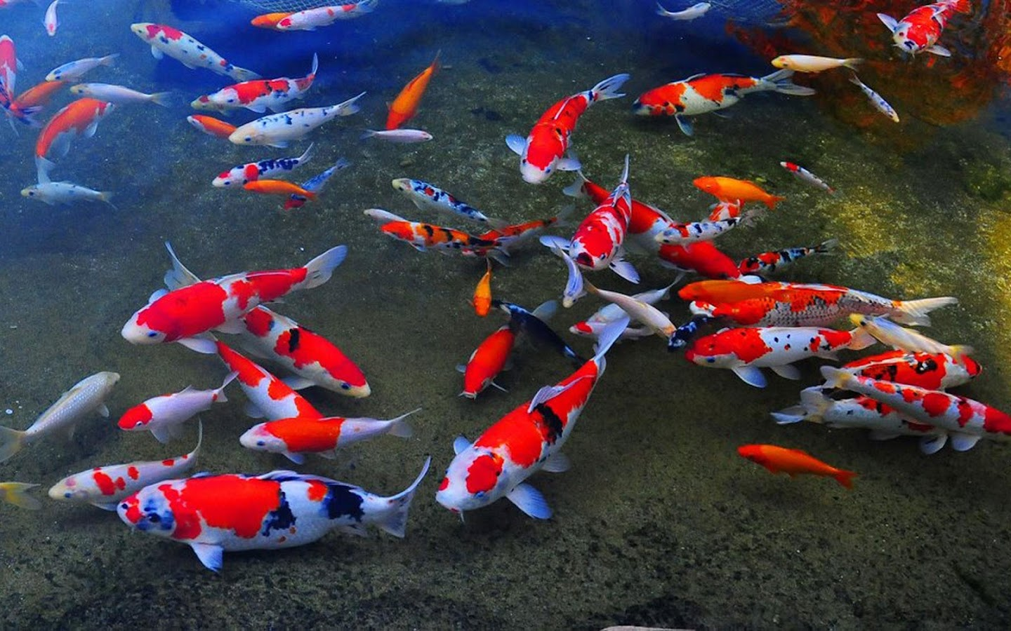 koi live wallpaper 1 6 apk download android personalization apps