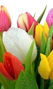 Tulip wallpaper 1.1 screenshot 4