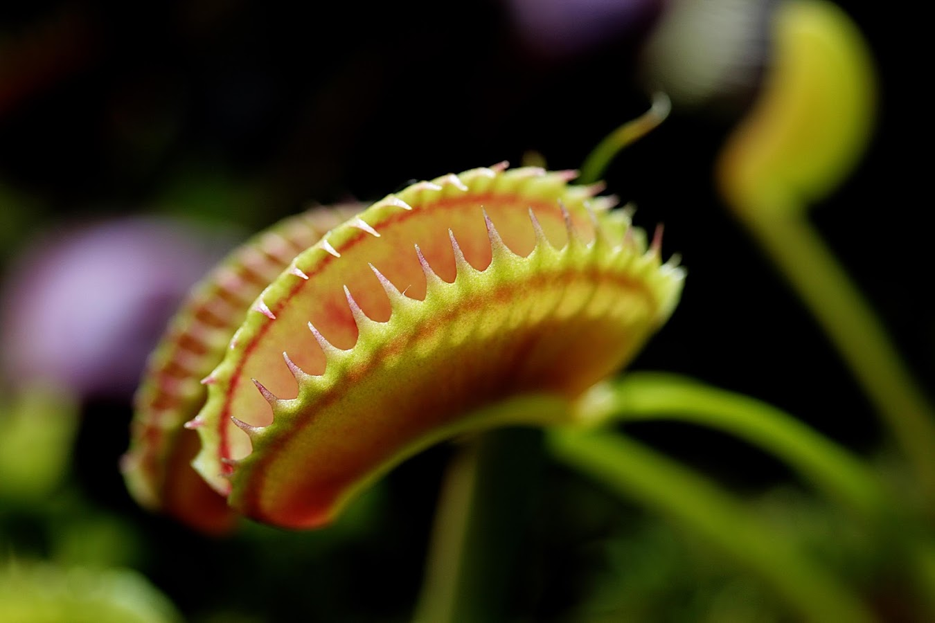 Venus Fly Trap Live Wallpaper 1.30 APK